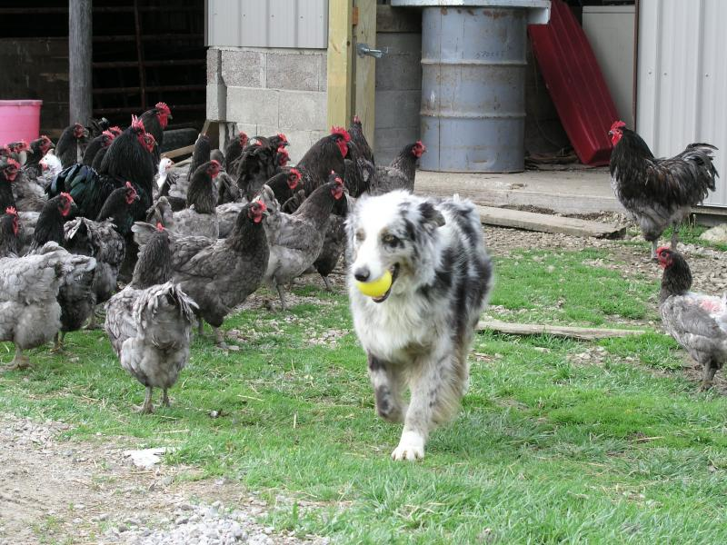Ellie (Aussie) makes her way through our beautiful Jersey Giant flock.