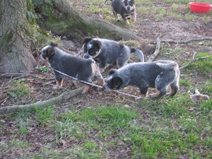 Blue Heeler pups playing