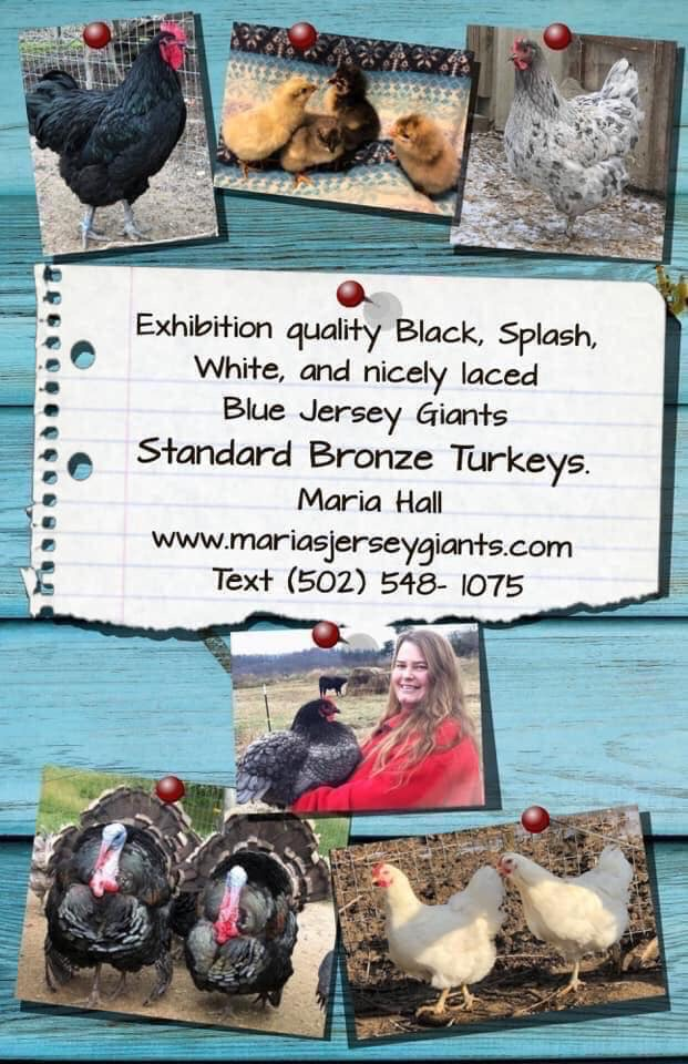 Black, Splash, Blue Jersey Giant chicks