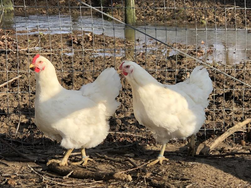 2 very nice White Giant pullets- only 11 months old