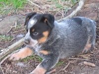 Blue Heeler pup available: Sam
